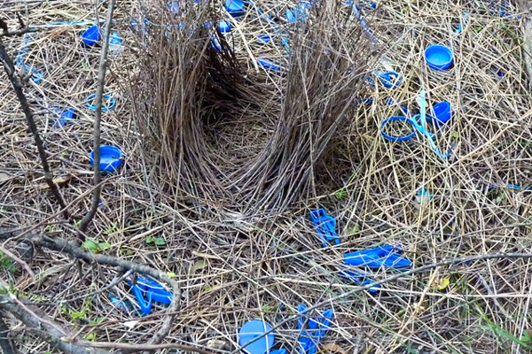 The Bowerbird collects electric blue.